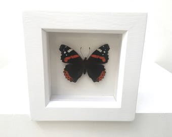 Red Admiral Butterfly/Insect/Taxidermy/Lepidoptera.
