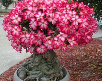 5X Pink Adenium Obesum Desert Rose Seeds Flower Bonsai Plant Train Tree
