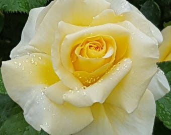 Yellow Rose Photograph