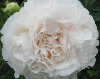 Mother's Choice white Peony root