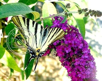 """Macro photo of butterfly of Provence """"The rest of the swallowtail"""" / Photo size 30 cm X 40 cm"""