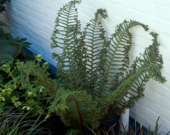 Jumbo Ostrich Fern  Matteuccia struthiopteris 'The King'