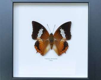 Charaxes bernardus amazing butterfly of the Nymphalidae family