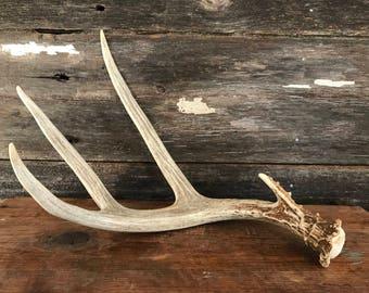 Large Deer Antler Naturally Shed - One of a Kind