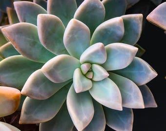 "Succulent Graptopetalum Paraguayense ""Ghost Plant"""