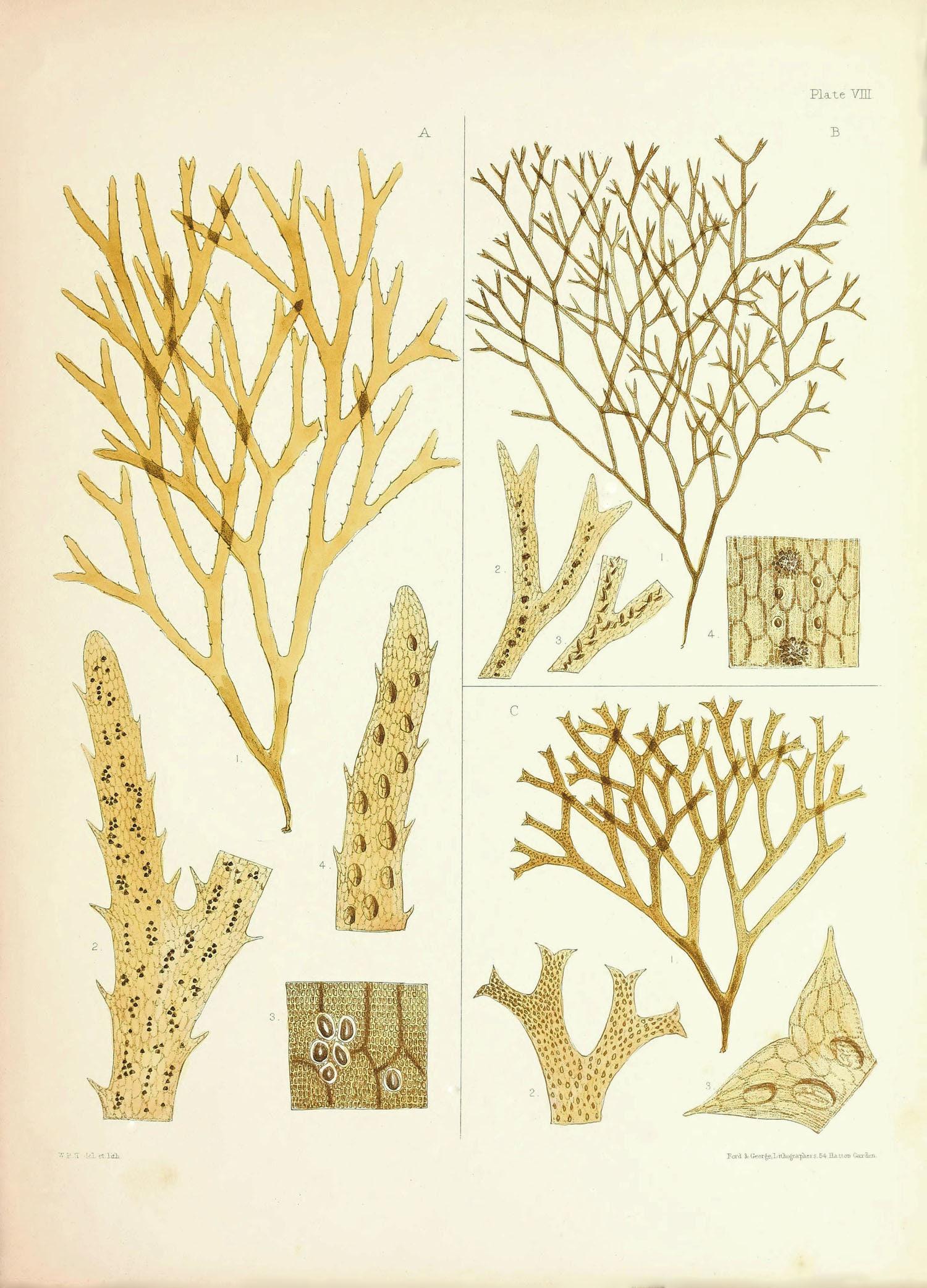 Vintage Seaweed Print, Antique Nature Print, Seaweed Art Print ...