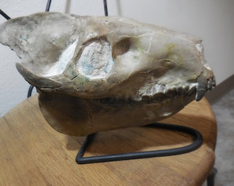 Thirty million years old, Culburtsoni Oreodont Fossil Skull.