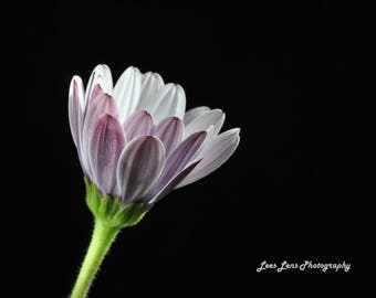 Purple White Osteospermum Flower Macro Wall Art Photograph 8 x 10inch mounted with white matboard measuring 10 x 13inch ready for framing.