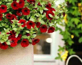 12 seeds F1 TRAILING PETUNIA - supercascade red -  Petunia grandiflora - balcony flower
