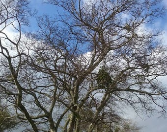Kissing Tree with Mistletoe in East Texas
