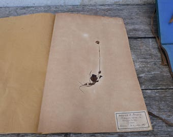 Antique-1887-1889-French-herbarium Homongyne Alpina