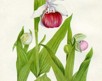 Vintage 1953 Showy Lady's Slipper Botanical, Floral Print for Framing, American Wildflower