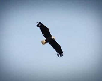 Bald Eagle Soaring Color Photo Nature FREE US SHIPPING
