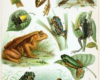 Vintage Frog Chart Antique ~ Frogs Poster - Amphibian Poster - Natural Science ~ Cabin Decor - Frog Art - Giclee Print