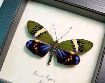 Real Rare Eterusia Repleta Day Metallic Blue Framed Flying Moth 7956