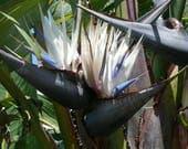 White Bird of Paradise seeds (100) - strelitzia nicolai, from the Big Island of Hawaii