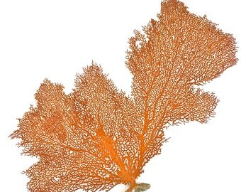 Beach Decor - Large Natural Sea Fan (#3) - coral, coastal, nautical, seashells, starfish sealife