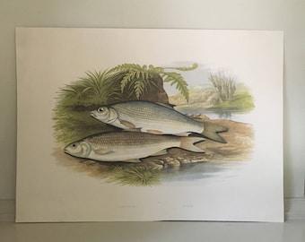1879 graining & dace minnow fish print original antique sea life ocean marine animal print by houghton