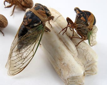 Adult Cicada Specimens plus Exoskeletons, Large Winged Insect, Big Creepy Bug Specimens, Sharp Claws