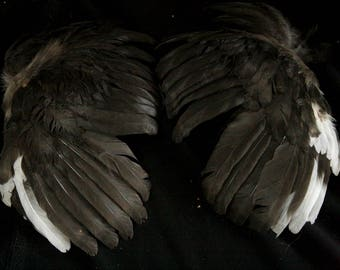 Black and White Wings: Real Dried Wings, Non-Toxic - gallus gallus domesticus  CH067