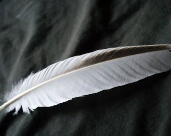 """x1 Large Wing Feather - 8 1/4"""" White and Black, Cruelty-Free, Domestic Heritage Turkey - meleagris gallopavo TF05833"""