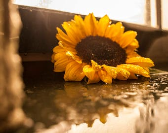 Sunflower post cards for Postcrossing, Fine art Photo
