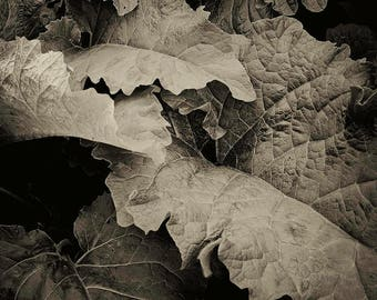 burdock, 8x10 fine art black & white photograph, nature
