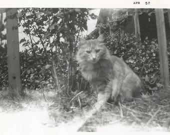 "Vintage Snapshot ""Fluffy"" Ginger Cat Orange Kitty Cat Original Black & White Old Photo Found Vernacular Photo"