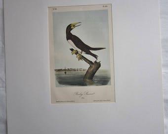 Vintage Audubon Bird Print - Booby Gannett