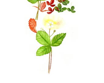 Strawberry Wild Strawberry Blank Greeting Card