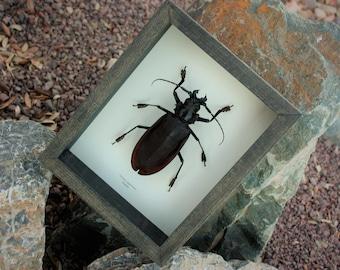 Real Titan Beetle ! 135mm male