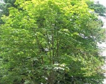 100 Bigleaf Maple Tree Seeds, Acer Macrophyllum