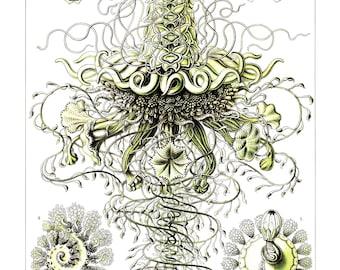 Ernst Haeckel's Vintage Artwork Siphonophorae