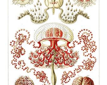 Ernst Haeckel's Vintage Artwork Anthomedusae
