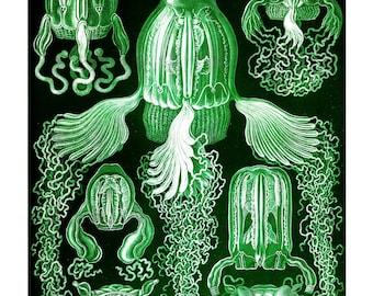 Ernst Haeckel's Vintage Artwork Cubomedusae