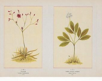Antique Botanical Illustrations c1895 -Talinium, Three Leaved Ginger