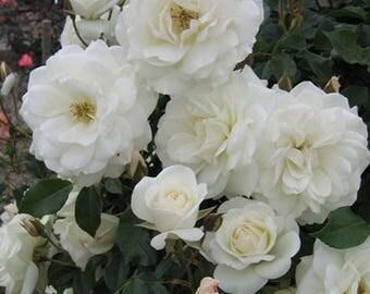 Climbing Iceberg Rose Floribunda White Rose Organic Grown Potted - Own Root Non-GMO - Ships Now