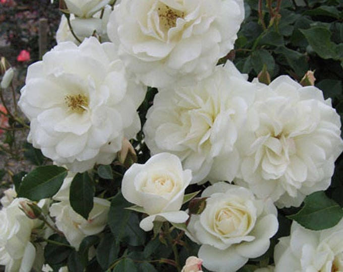 Climbing Iceberg Rose Floribunda White Rose Organic Grown Potted - Own Root Non-GMO - Ships Now