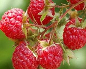 Raspberry seeds - Red