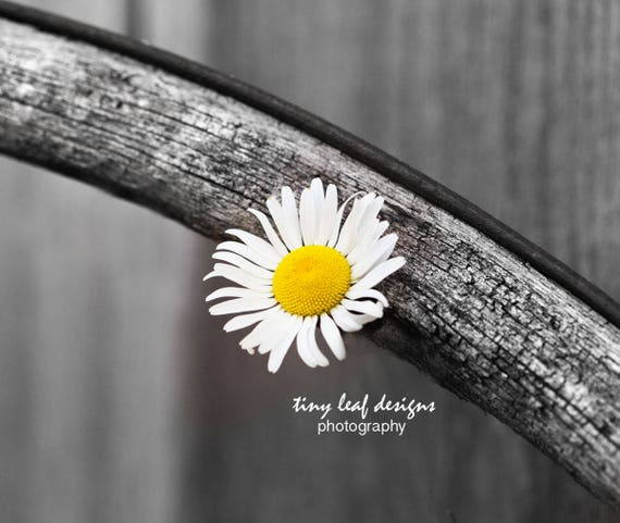 Daisy on Spoke. Black and White With a Splash of Color 5x7 8x10 Print and 11 x 14 Standout