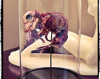 Mummified Fetal Pig in glass Dome