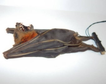 Taxidermy real bat skull-(Common Short-nosed Fruit Bat) as shown -ready now.