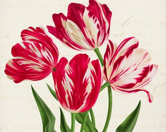 Holiday Tulips -Christmas Gifts -Prints for Decor -Holiday Art -Noel -Xmas -Flowers -Botanical -Tulips -Boxing Day