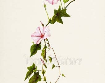 Morning Glory Flower Art Print, Botanical Art Print, Flower Wall Art, Flower Print, Floral Print, Home Decor, pink