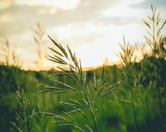 Golden Grass — Photographic Print