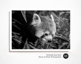 Red Panda Photography Print #1 - Black and White Photo