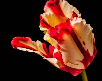 Red & White Parrot Tulip