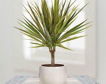 Dracaena (Marginata) - Madagascar Dragon Tree - Air Purifying Plant - Indoors - Easy Care