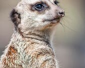 Meerkat Blank Greetings C...