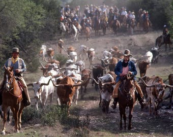 LONGHORN CATTLE DRIVE On the Y O Ranch In Mountain Home, Texas.